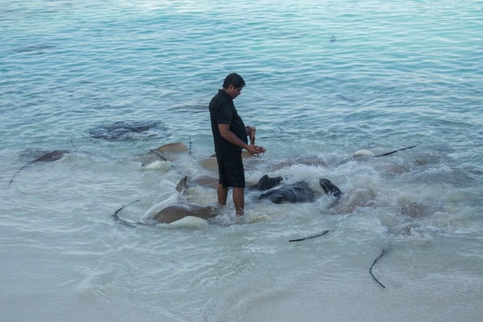 Sting ray feeding at Reethu Beach Resort
