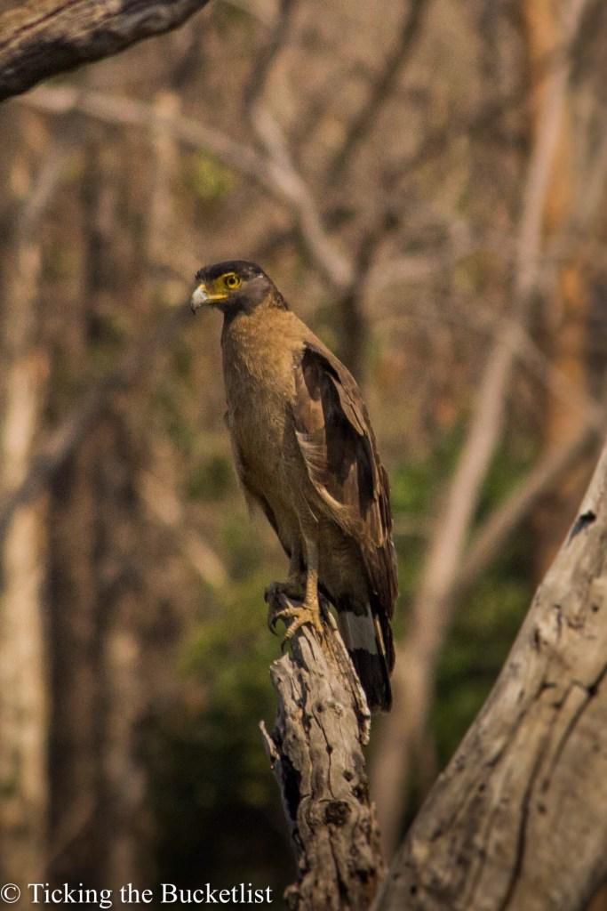 Serpent Crested Eagle