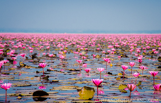 Red Lotus Flowers Surrounding us on the Lake in Udon Thani, Thailand