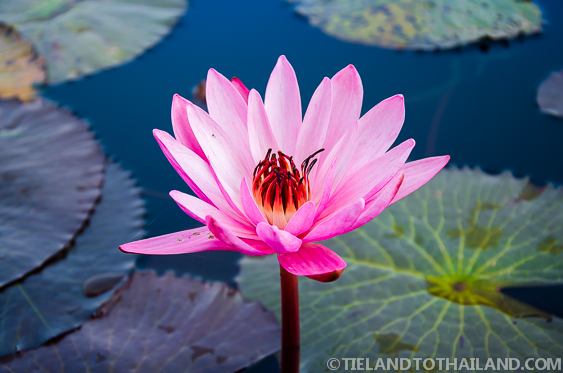 Red Lotus Flower Up Close in Udon Thani