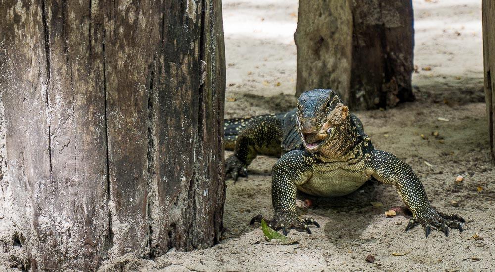 Monitor Lizard on Koh Rok Best Snorkeling Andaman Sea Thailand
