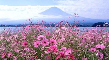 Fuji Cosmos