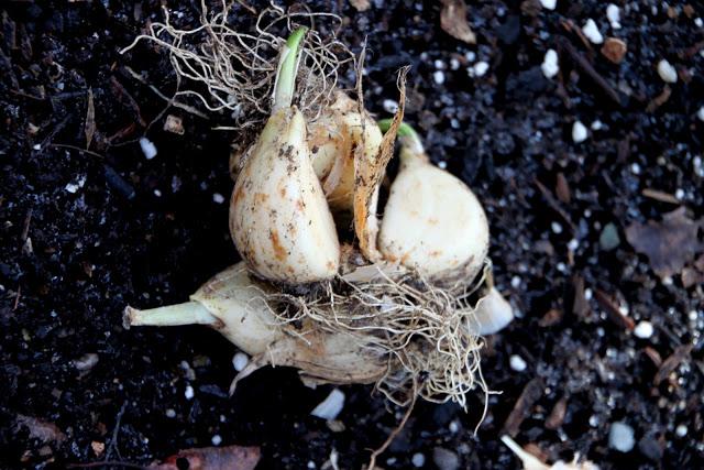 Tilly's Nest-planting garlic cloveswp