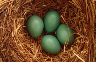 Tilly's Nest-robins nest 4 eggs (1)wp