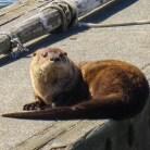 Sea Otter at Neah Bay, WA