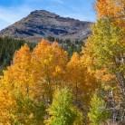 Sonora Pass Aspen