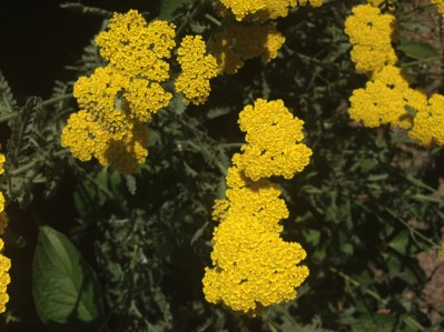 Golden Yarrow at the UNCA Botanical Gardens