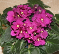 Beautiful African Violet Flowers