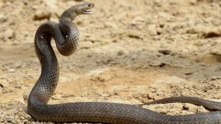 AUSTRALIA-ANIMAL-SNAKES