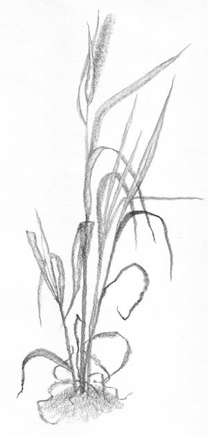 Tall Grass Sketch