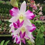 Dendrobium Splash Mutation