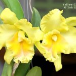 Yellow Cattleya