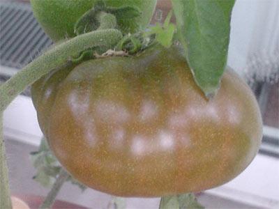 eine tomate an der lilac wird schon rot tomaten tomatl paradeiser. Black Bedroom Furniture Sets. Home Design Ideas