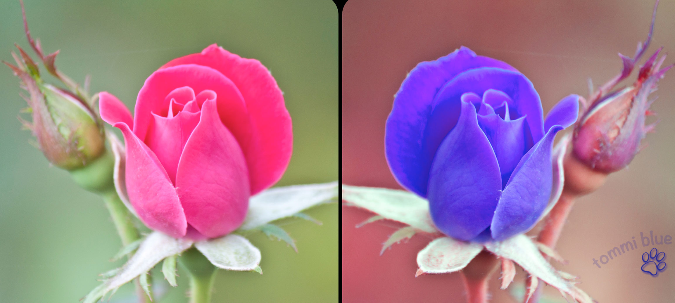 Diptic_roses_b_a