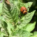 A potato beetle (right) feasting on my potato plant with a grasshopper.