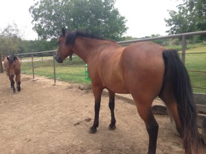 Whiskey - 8 yr old bay gelding