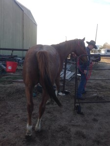 Brother - 13 yr old red roan paint Playday gelding