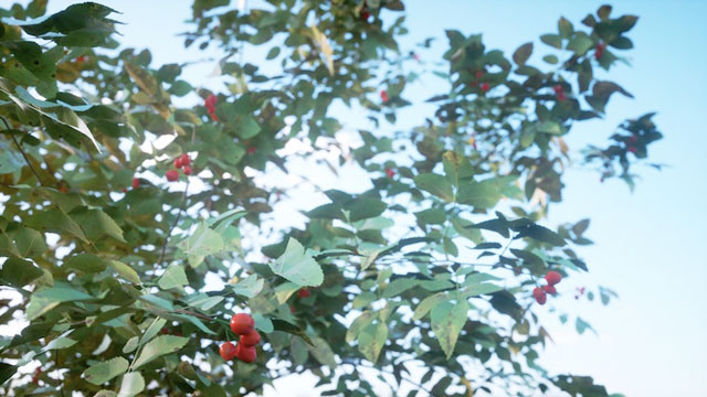 piante Laubwerk kit 8 corniolo