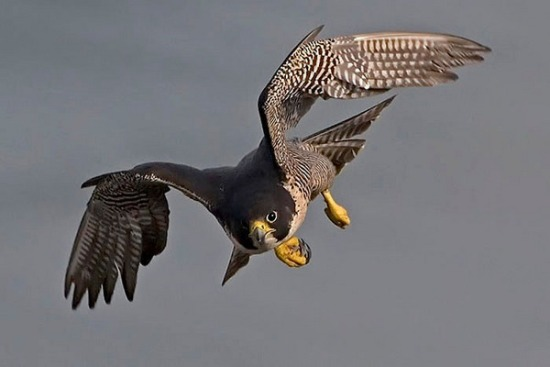 Peregrine_Falcon_diving