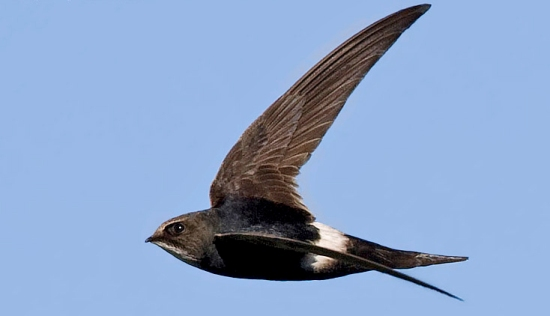 White-rumped-Swift-in-air