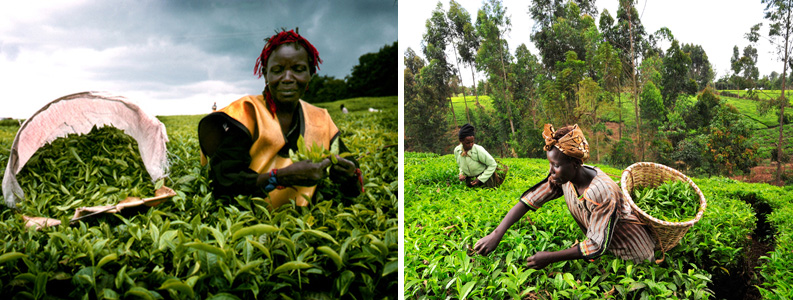 Which is the Largest Tea Exporter in the World