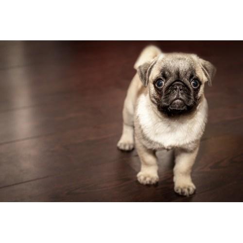 Medium Crop Of Best Dog Breeds For Apartments