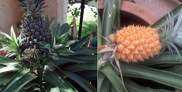pineaple-plant