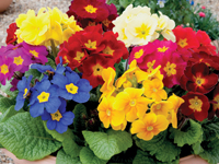 Polyanthus 'Crescendo®' Mixed