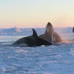 Pod of Killer Whales That Were Trapped in Sea Ice Now Free