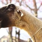 A Super Cut of Goats Screaming Like Humans: VIDEO