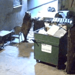 Hungry Bear Steals Entire Dumpster, Picks Up German Food To-Go: VIDEO