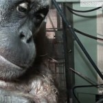 Sumatran Orangutan Captured on Camera Giving Birth at UK Sanctuary: VIDEO