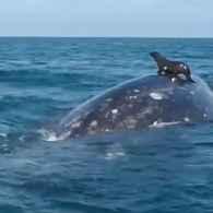 Seal rides a whale