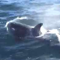 Fishermen Capture an Unusual Sight: Orcas Frolicking off of Cape Cod – WATCH