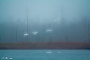 Tundra Swans Take Flight on a Foggy Winter's Day