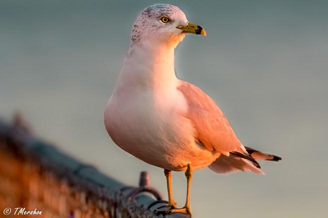 Ring-Billed Gull in Morning Light