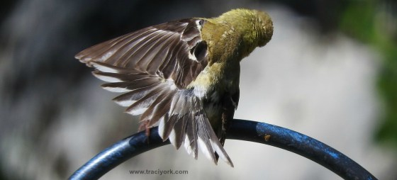 Goldfinch pole dancing