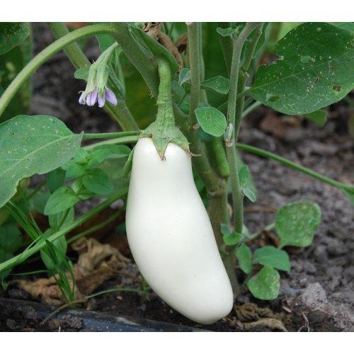 Medium Crop Of Black Beauty Eggplant