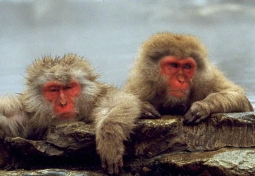Snow Monkey Park. Immagine tratta da Jnto