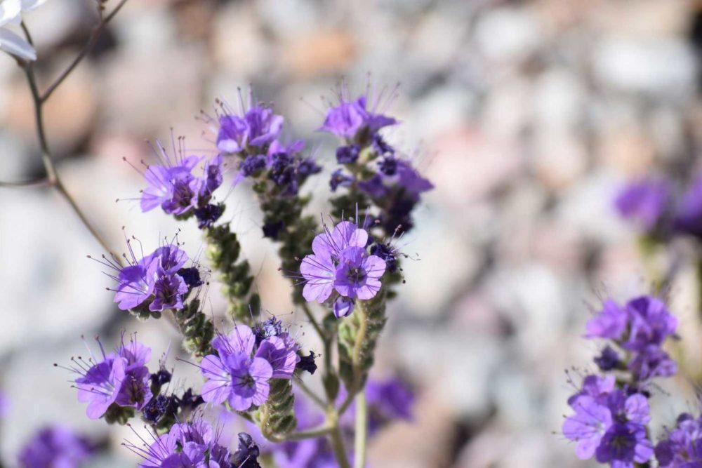 Notch-Leaf Phacelia