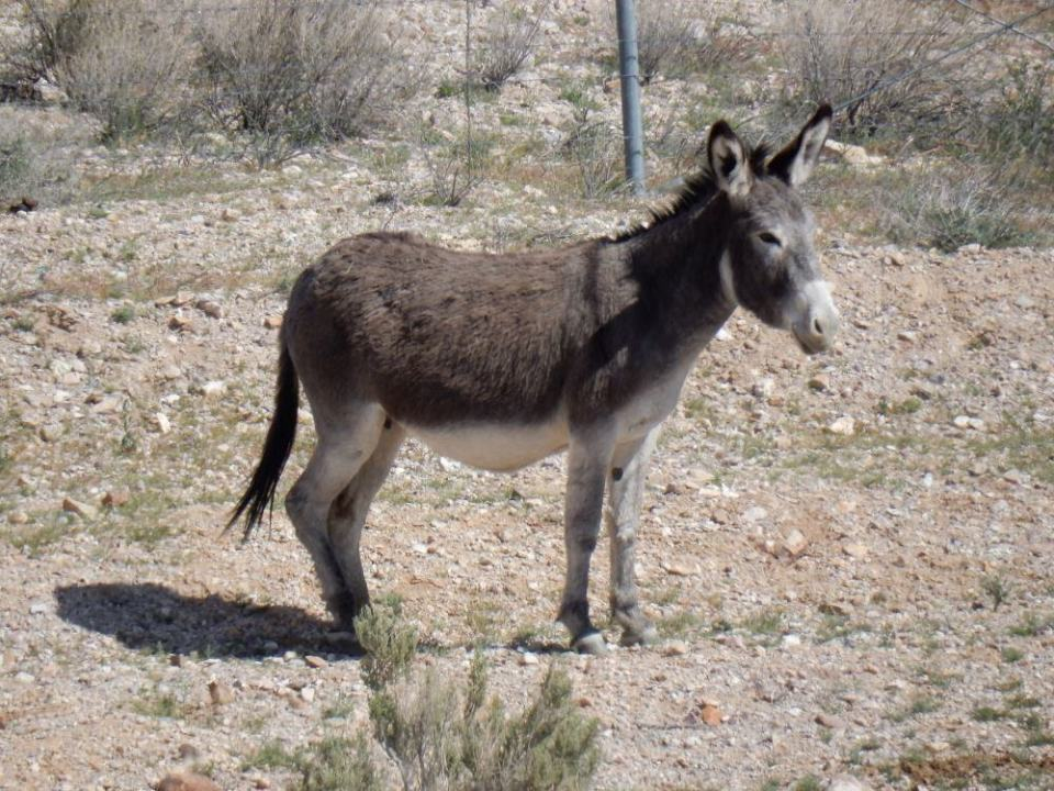 Burros were introduced by the Spanish in the 1500s and are originally from Africa.