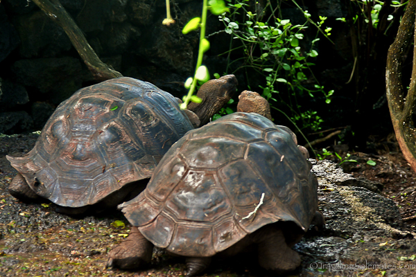 Giant turtles in Charles Darwin Research Center in Galapagos islands