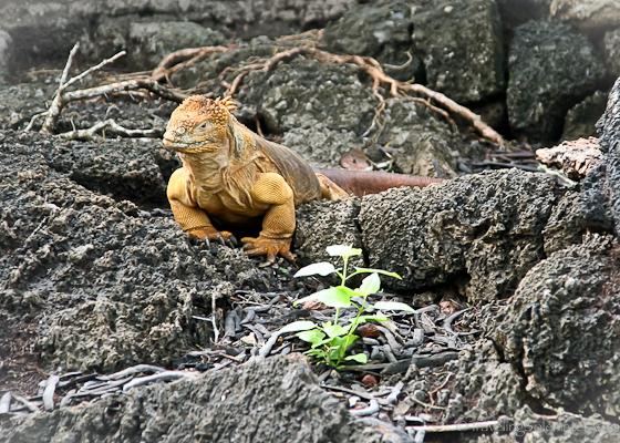 Yellow Land Iguana in  Galapagos islands