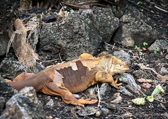 Shedding Land Iguana in Galapagos Islands