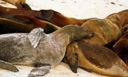 12-Napping seals in Galapagos Islands