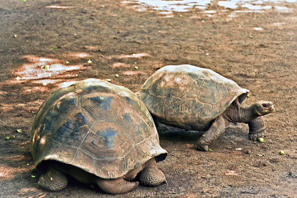 Giant turtles in Isabela in Galapagos islands