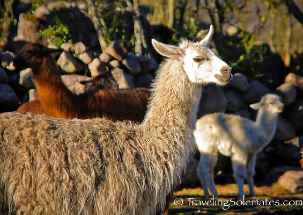 Llama on Lares Valley Trek Peru