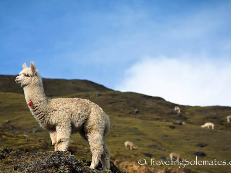An alpaca on Lares Valley Trek Peru
