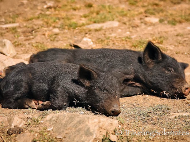 Pigs in Patacancha, Lares Valley Trek Peru