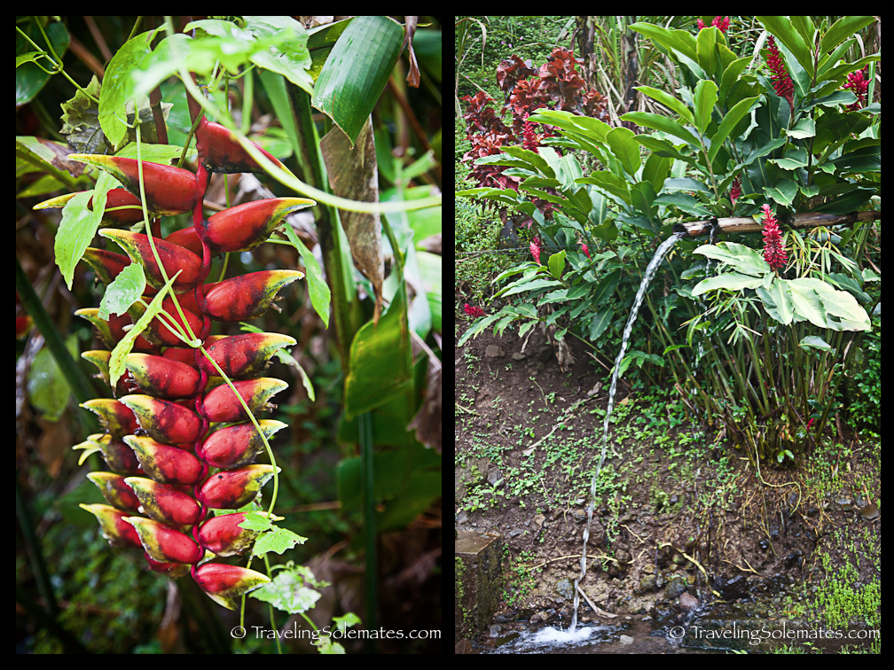 Floras in Roseau Valley, Dominica